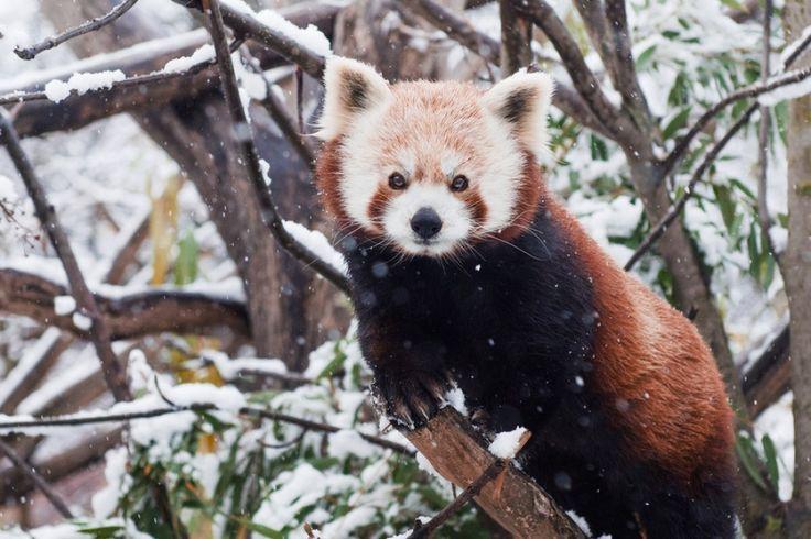 http://www.adme.ru/zhizn-zhivotnye/pandy-krutye-a-krasnye-pandy-esche-kruche-760210/