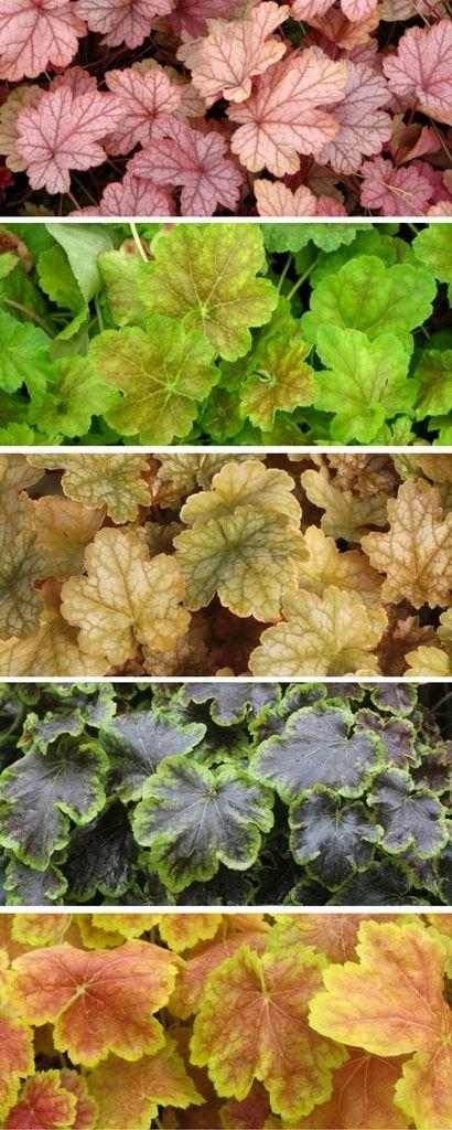 Couleurs des feuilles d'heuchères
