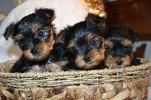 Choosing the Right Yorkie Breeder