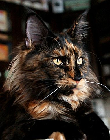 Maine Coon, black torti solid (f). SC Bella Swan of Flamingo Hill*SK