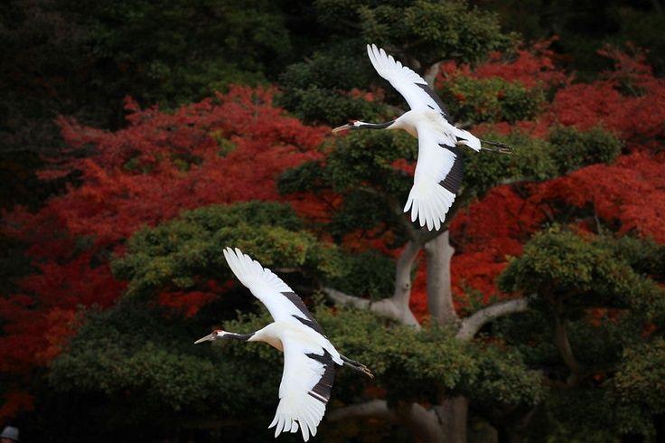 岡山後楽園、タンチョウ放鳥 ♪ by tattyann