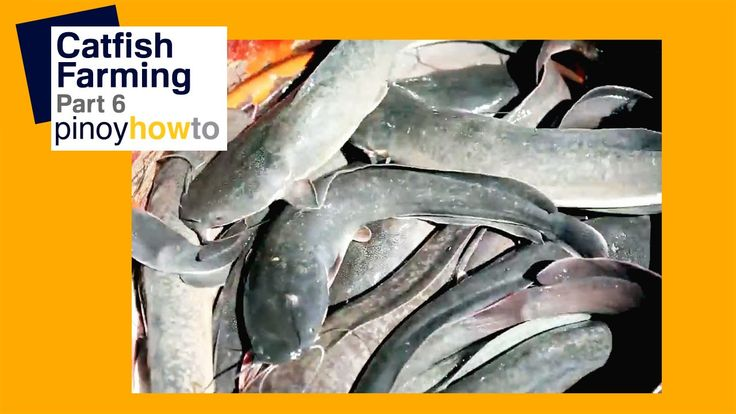 Catfish Farming Part 6 | Pinoy How To