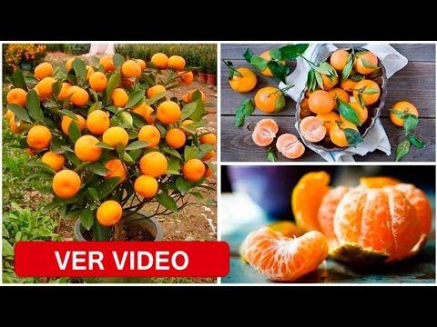 Si Haces Esto en una Maceta de Plástico Tendrás Cientos de Mandarina en la Palma de tu Mano - YouTube