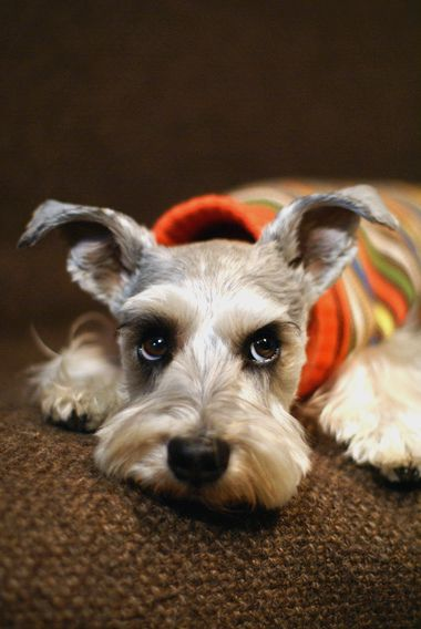 Miniature Schnauzer by Terry. Bree said hey mom it's Miss! Only Emily will get this one