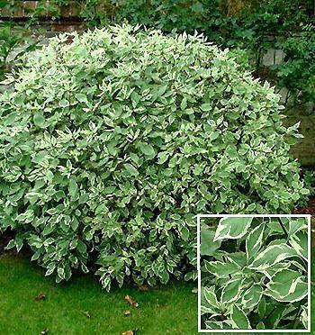 Cornus alba sibirica variegata arbustes pinterest photos for Cornus alba