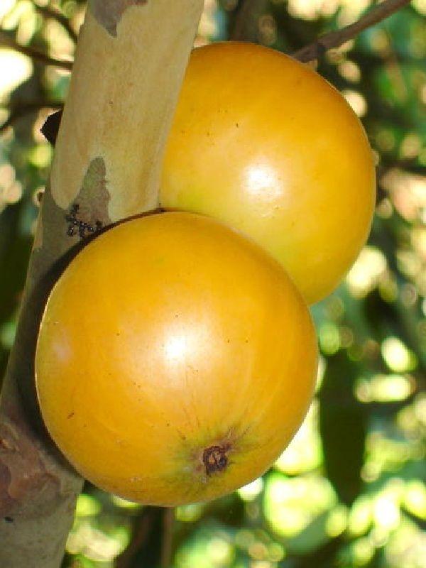 Cambucá - uma fruta brasileira de gosto amargo e doce. Lembra uma mistura de manga e mamão.