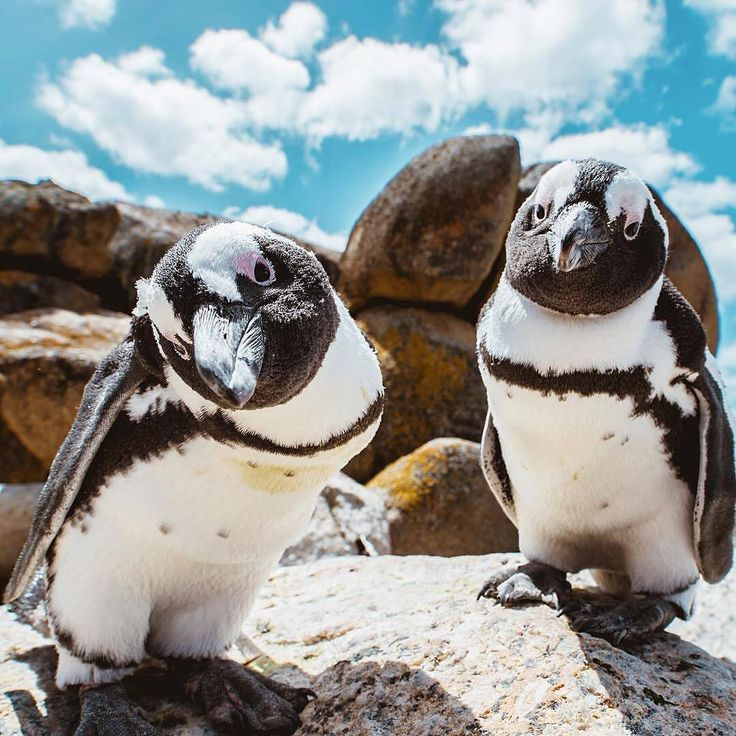 african penguin geography essay Geography essay on africa africa 39s physical geography – uk essays africa 39s physical geography africa is a continent rich in beauty, culture, and wealth.