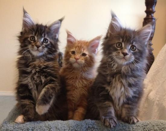 3762 Best Maine Coon Cats Images On Pinterest Maine Coon Kittens Europe And Cats