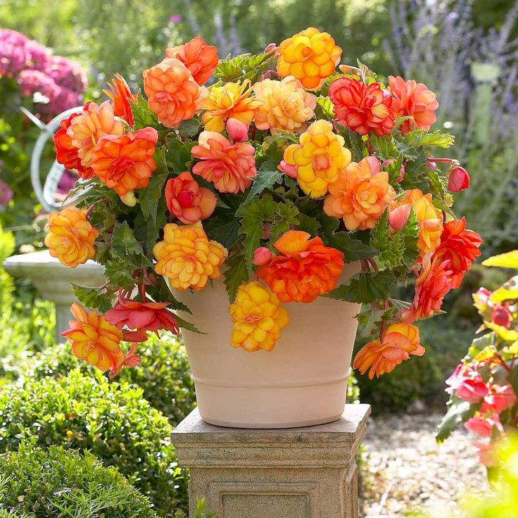 best ✿ flowers  annuals shade images on, Beautiful flower