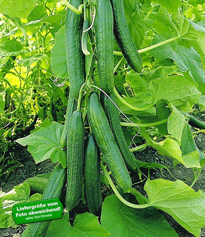 Baldur Garten Veredelte Salatgurke Phonix 2 Pflanzen Gurkenpflanze Schlangengurke Salatgurke Gurkenpflanze Salatgurken Pflanzen Gurke