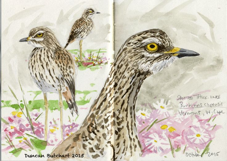 Spotted Thick-knee (Burhinus capensis), Vermont, Western Cape, South Africa.