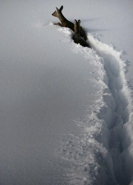 deep snow. theeternitybelowzero.blogspot.com... 95.000 visitas en google plus editorial SELEER El acecho se prolongó durante millas Primero atravesó el antiguo cauce nevado de un río, para que nuestras patas se hundieran en la nieve