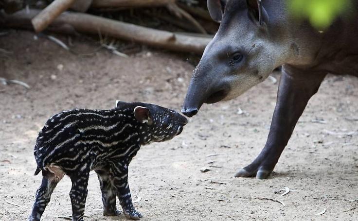 Mamãe Pasiflora afaga filhote de anta recém-nascido, em Israel.