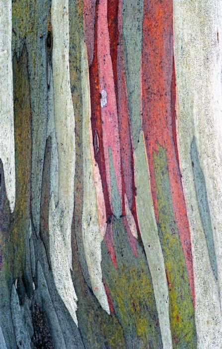 Loving this color palette of the bark of a Rainbow Gum tree, from Australia!