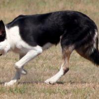 #dogalize Razze cani: Pastore Scozzese pelo corto, caratteristiche #dogs #cats #pets