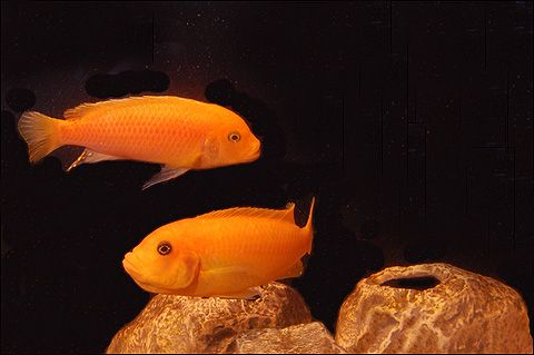 Male and female Red Zebra, African Cichlids from Lake Malawi