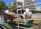 Μια κατσίκα ένα πρόβατο και πάπιες στην πλατεία της Καλαμάτας (φωτογραφίες)  [Tharrosnews]