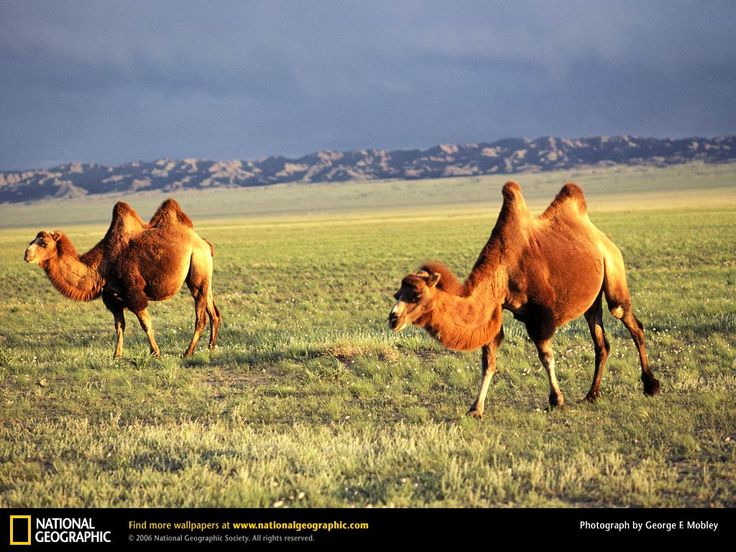 Bactrian camel The Bactrian camel is a large, even-toed ungulate native to the steppes of central Asia. Of the two species of camel, it is by far the rarer. The Bactrian camel has two humps on its back, in contrast to the single-humped dromedary camel.
