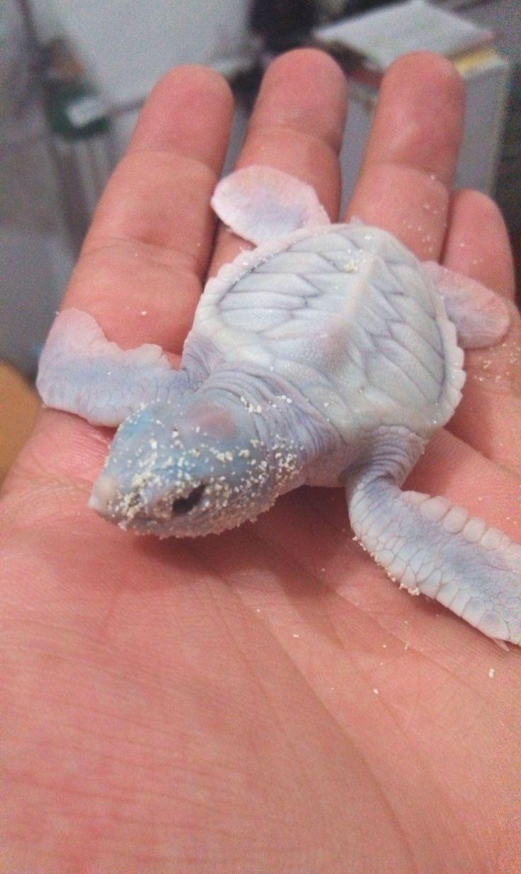 A Albino Baby Sea Turtle   /   en