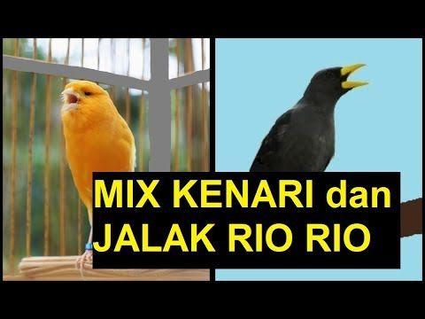 Burung Masteran Murai Batu Lovebird Kacer Cucak Ijo Ciblek Kolibri Mix Kenari Dan Jalak Rio Rio Video Burung Rio Rio Gacor Video Burung Ke Jalak Burung Youtube