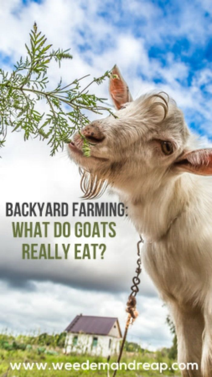 98 best goats images on pinterest raising goats hobby farms and