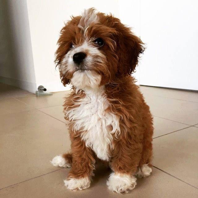 Chevromist Cavoodle Puppy Lily Cavoodle Dog Cavapoo Puppies
