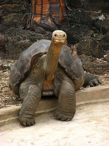 During the 16th, 17th, and 18th century sailors from all over the world hunted and captured roughly 100,000 Galapagos tortoises because of their lengthy shelf life and need for fresh meat