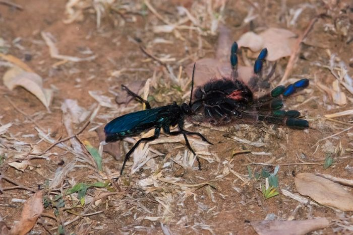 The remarkable spider hunting wasp