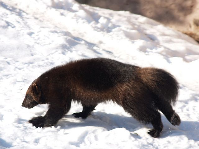77 best Weasels, Wolverines and their cousins images on ... | 640 x 480 jpeg 40kB