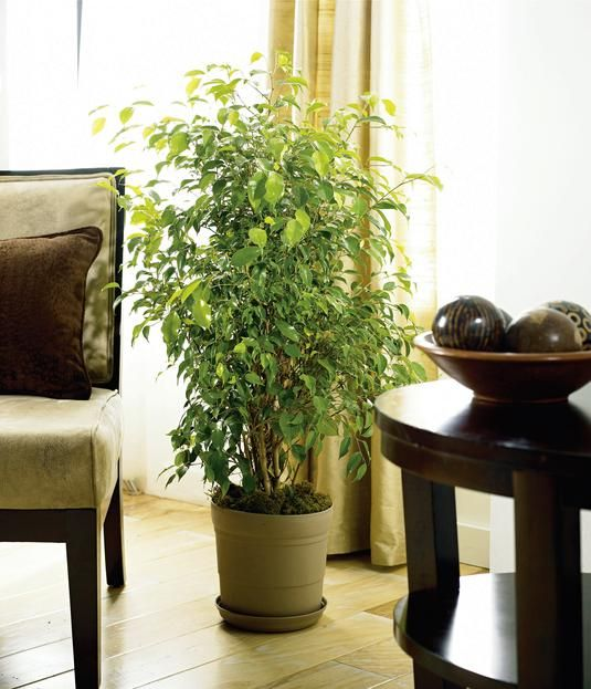 When you can't go out, bring the outdoors in. Ficus trees and other houseplants help clean the air and put a little green on the scene.