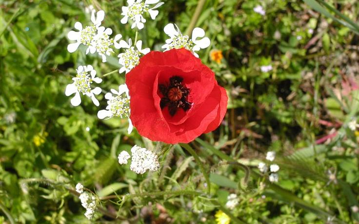 Fattoria La Maliosa – Biodynamic poppy flower