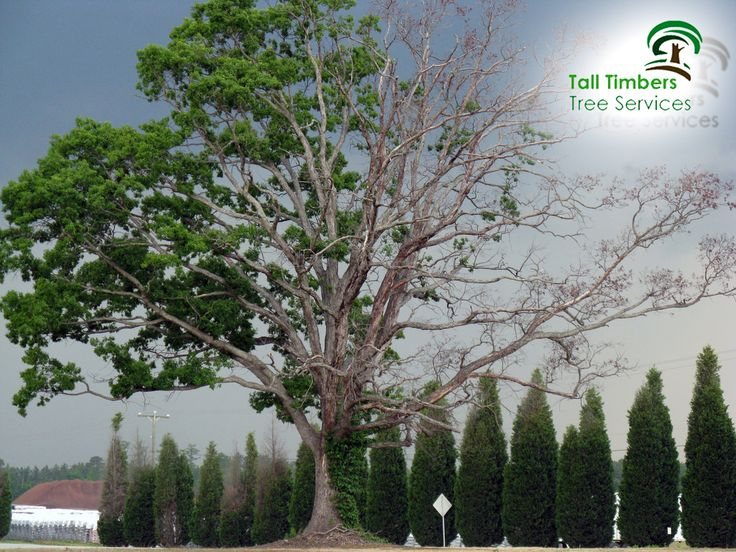 Whenever you notice a tree which may be dying, you should always call an arborist to assess it properly. The sooner you can catch the problem the less costly the tree removal Sydney is. We may be able to actually save it. Call 0414627627 for free quote or visit our website https://talltimberstreeservices.com.au/