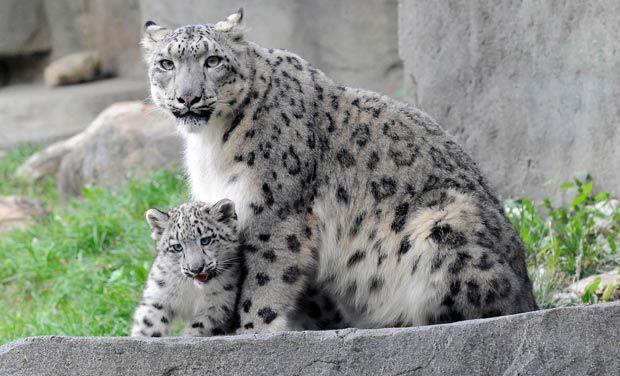Bildresultat för snow leopard shimla