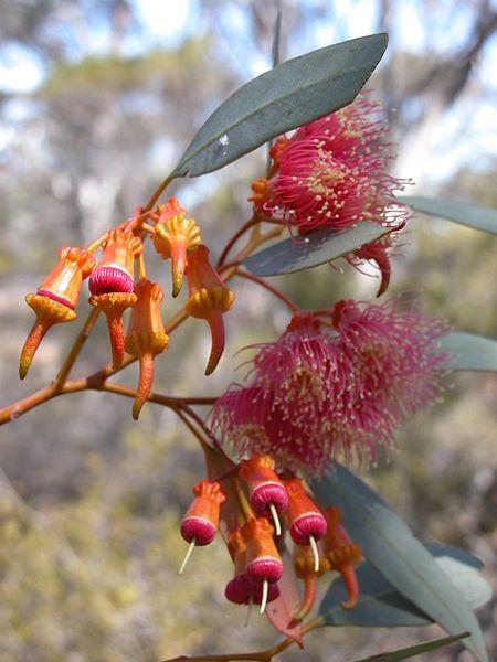 Eucalyptus torquata flowers
