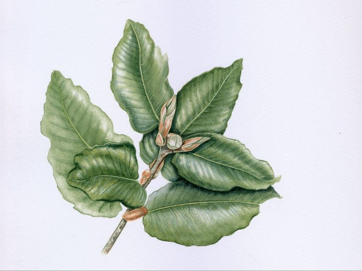 Eucryphia cordifolia branch #botanicalillustration  Geraldine MacKinnon