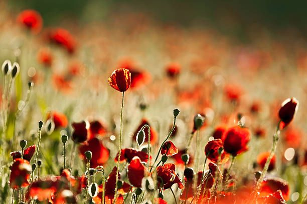 El poppies - foto de stock