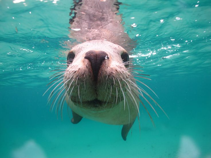 Swim with Sea Lions; watch them do somersaults & backflips around you at the stunning waters of Seal Cove. Port Lincoln. Eyre Peninsula. South Australia.