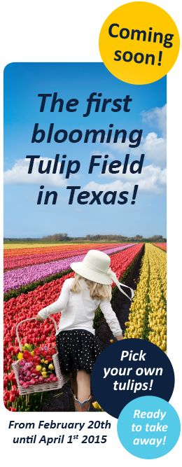 The Tulip Field | Texas-Tulips 2/20-4/1/15 10656 FM 2931, Pilot Point, Texas 76258 (940) 2306512