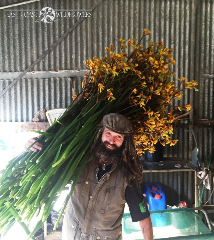 Extra-long stem yellow and gold #kangaroo paw flowers fresh from our New South Wales farm. That's not a tiny grower - that's a very LARGE bunch!