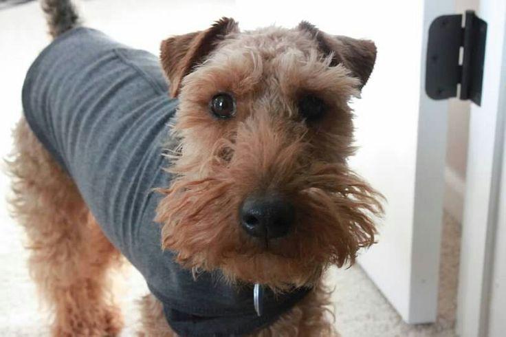 Cute Welsh Terrier in a ThunderShirt