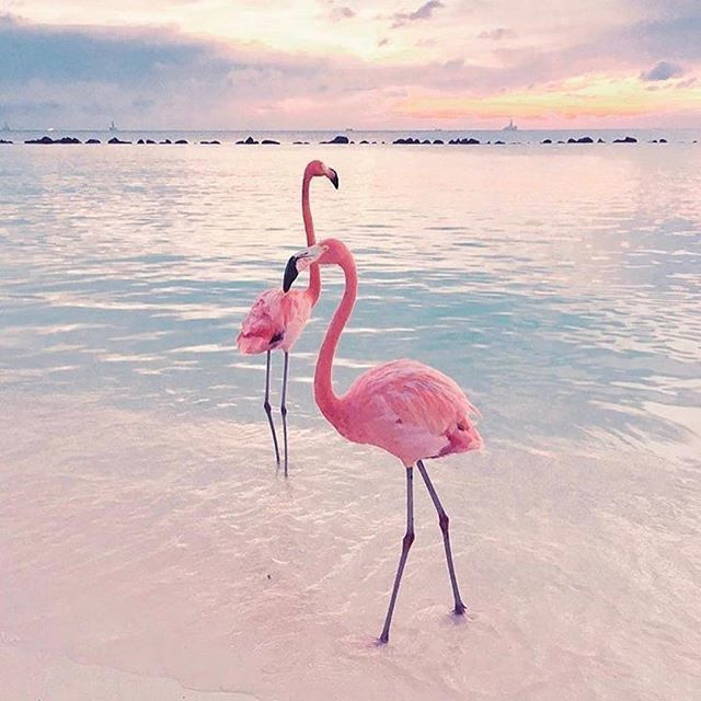 Beautiful Iphone Backgrounds: #Beach #Flamingos