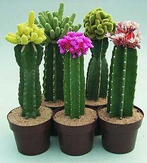 Bello Cactus Suculentas con flor. Cactus Suculentas Sí quieres hacer florecer…