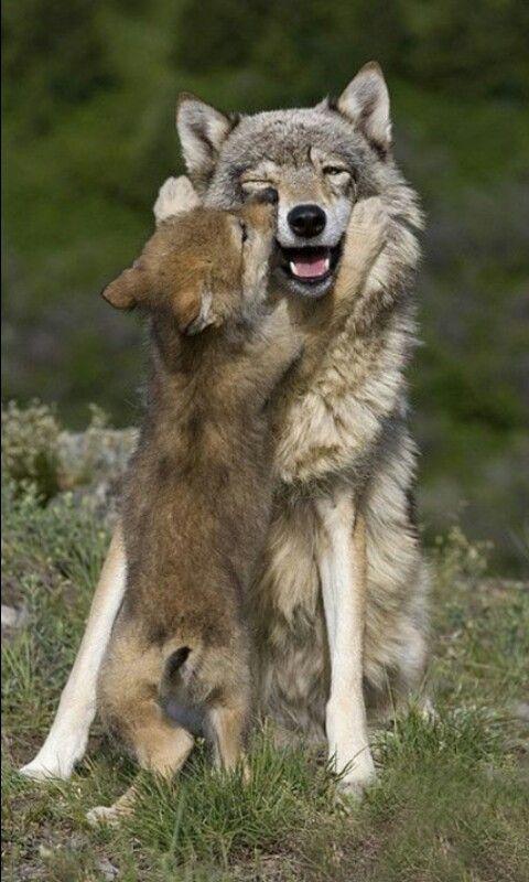 Todos los lobos de la manada participan en la cría de los lobeznos.2