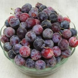 Beach Plum Trees, option if I can't find the Native American Wild Plum. The fruit is amazing, slightly larger than a cherry, backup of I can't find the Native American Wild Plum like we had in Mancos. Zones 3-8 (4-8 suggested from some nurseries)