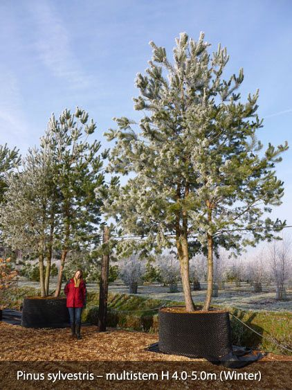 Container grown pinus nigra austriaca semi mature tree for Mature pine trees