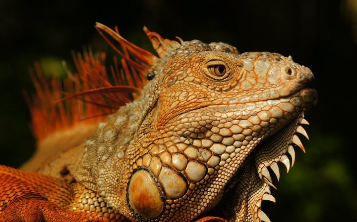 I'm ready for my close-up!:  Iguanas Iguanas, Common Iguanas