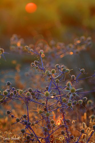 Touched by the sun...Purple thorn