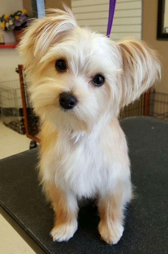 Mylas Haircuts Haircutideas Maltese Haircut Ideas Dog Haircuts Morkie Dogs Morkie Haircuts