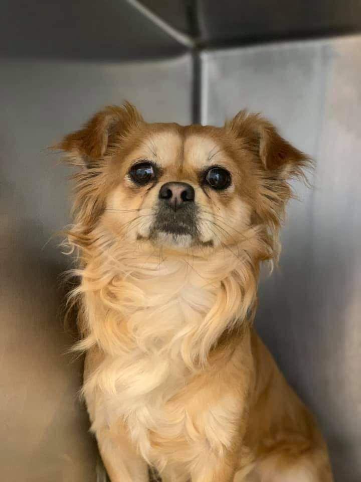 Adopt Dimples On Yorkie Pomeranian Mix Pomeranian Mix Yorkshire Terrier