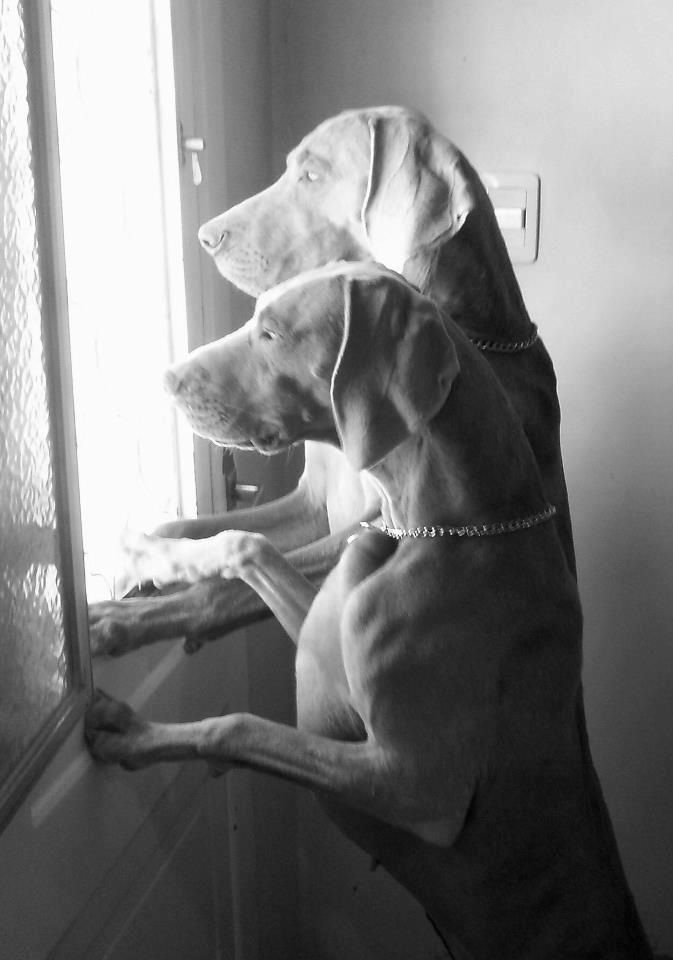 Cute Dogs - Outside the window. #dogs #pets #canine